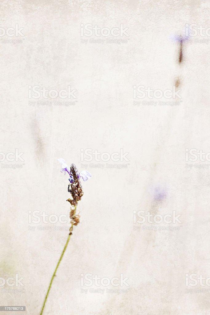 Lavender flower, royalty-free stock photo