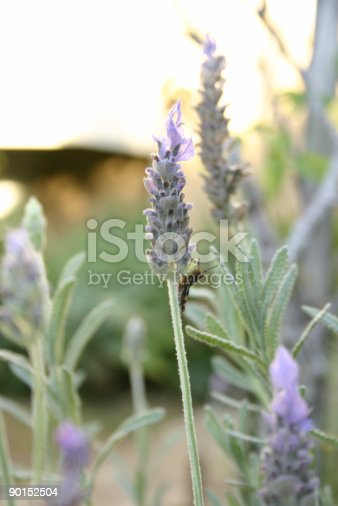 Lavender flower stem with small grasshopper