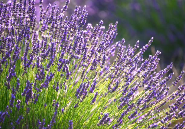 lavender flowers 11 - colore lavanda foto e immagini stock