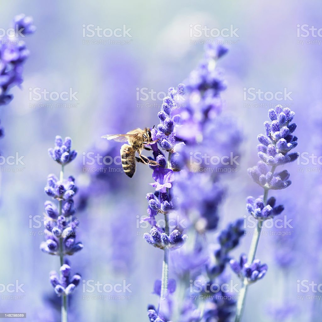 Lavender flowers and a bee stock photo