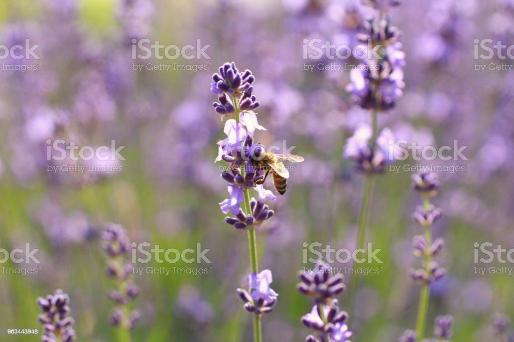 Lavanta çiçekleri ve arılar - Royalty-free Arılar Stok görsel