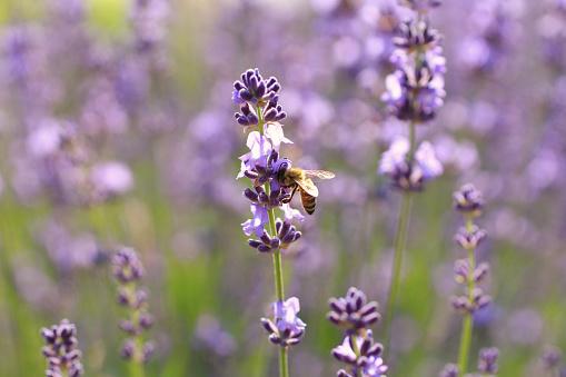 Lavanta Çiçekleri Ve Arılar Stok Fotoğraflar & Arılar'nin Daha Fazla Resimleri