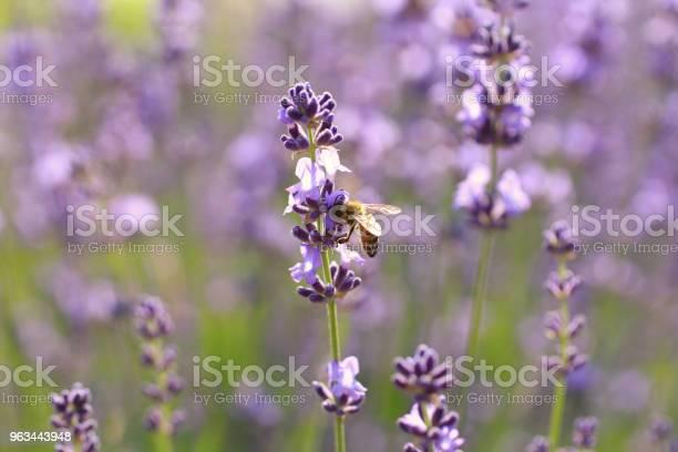 Lawendowe Kwiaty I Pszczoły - zdjęcia stockowe i więcej obrazów Bez ludzi