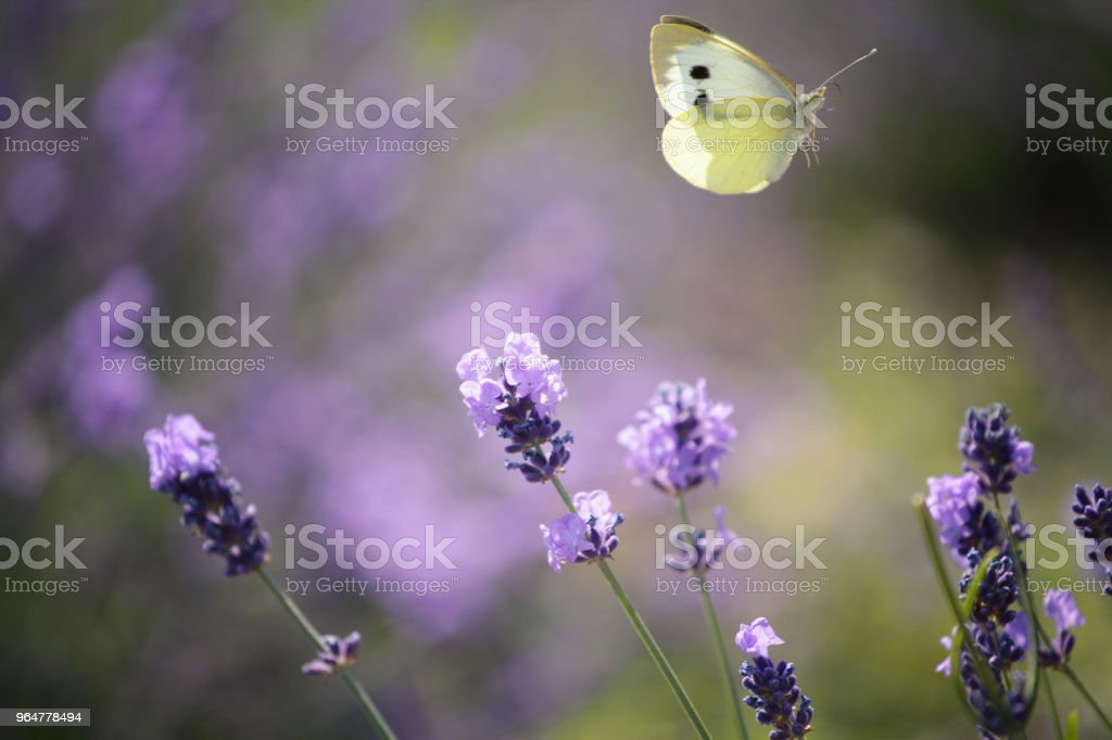 Lavender flowers and flying white butterfly royalty-free stock photo