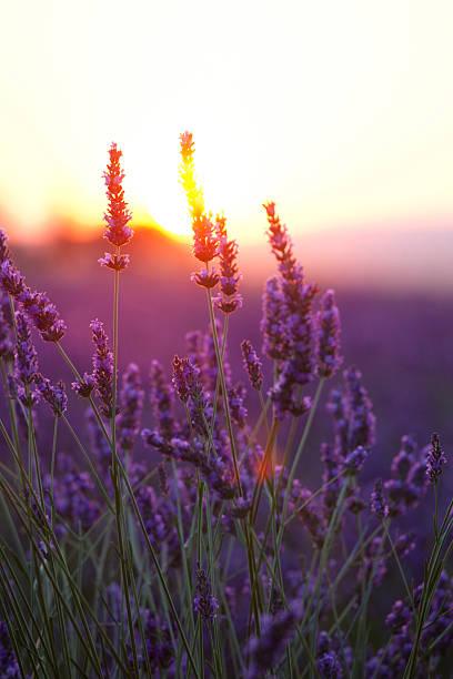 Lavendel Blumen und Sonnenuntergang – Foto