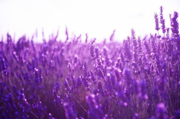 lavender flowers at sunset in provence, france. - colore lavanda foto e immagini stock