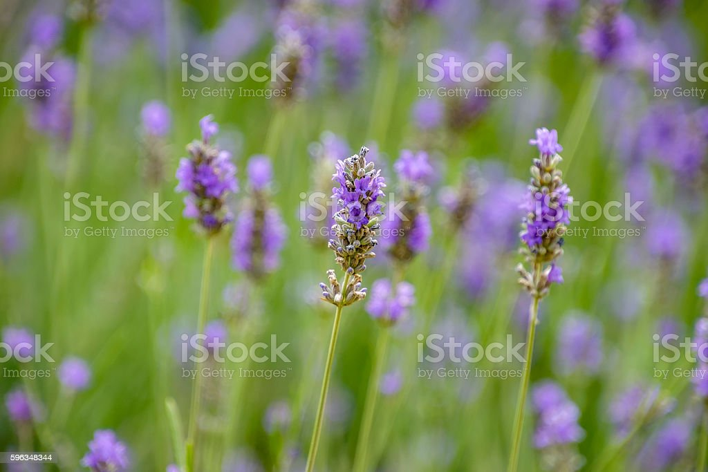 Lavender flowers background royalty-free stock photo