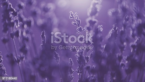 Lavender flowers background