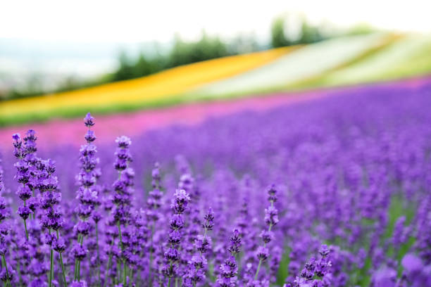 Lavender flowers blooming close-up (Purple field flowers) and Rainbow colorful flower background, Furano, Hokkaido in Japan stock photo