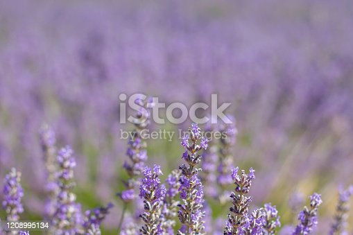 Detail of blossoming lavender fields