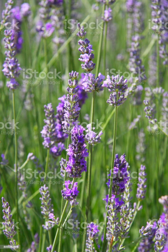 Lavender flowers blooming. Purple field flowers background stock photo