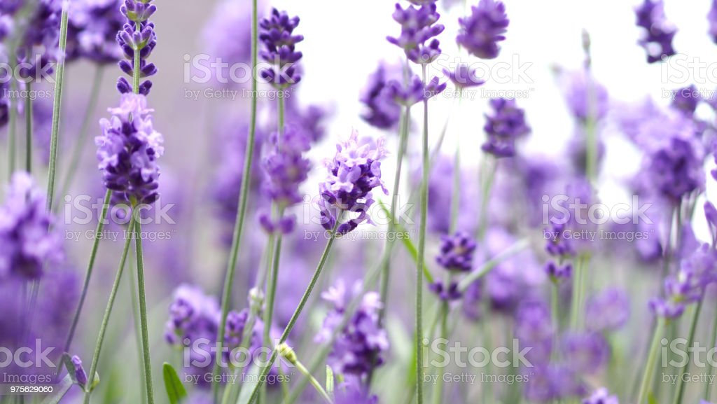 Lavender flowers blooming which have purple color and good fragrant for relaxing stock photo