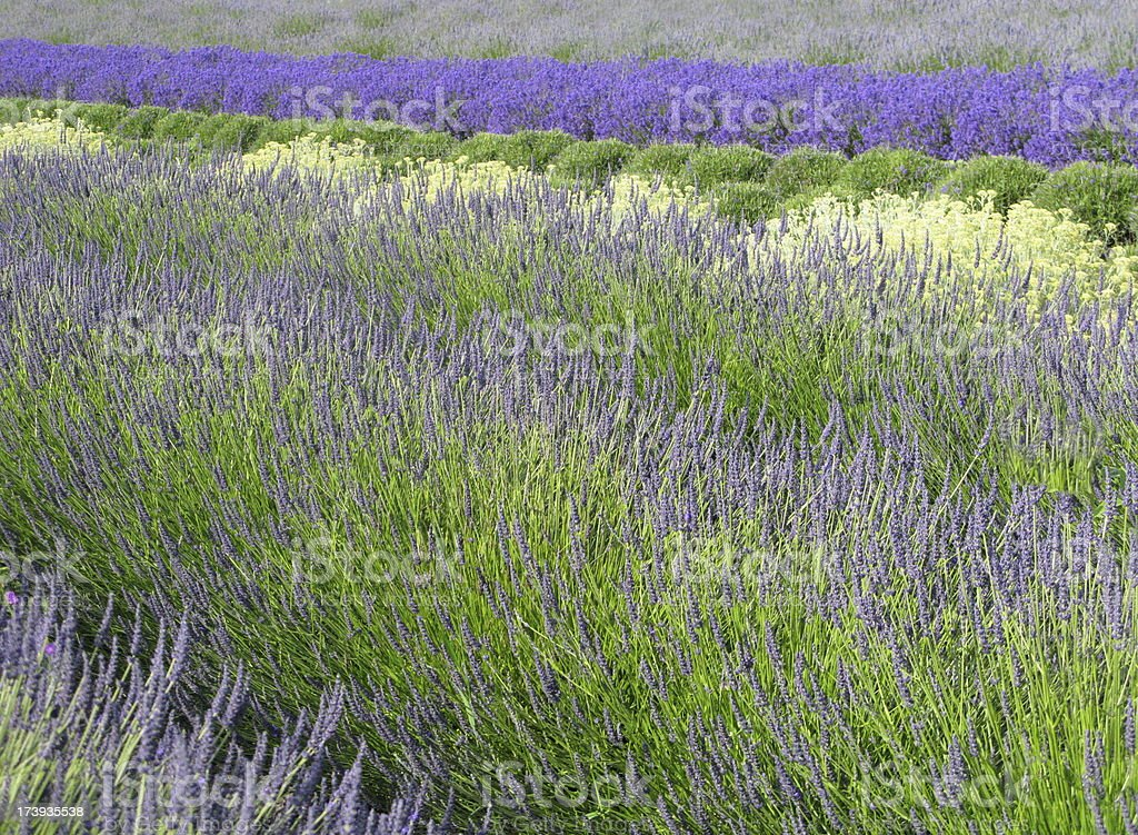 Lavender Flowers Blossom In A Row Background royalty-free stock photo