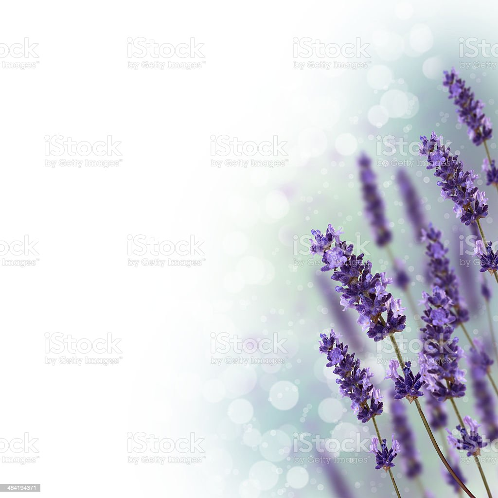 Lavender Flowers Border Stock Photo Amp More Pictures Of