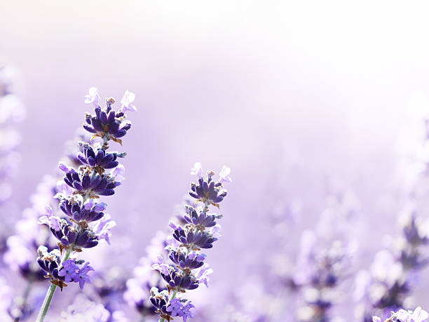 Lavender flowers delicate blurred nature horizontal background stock photo