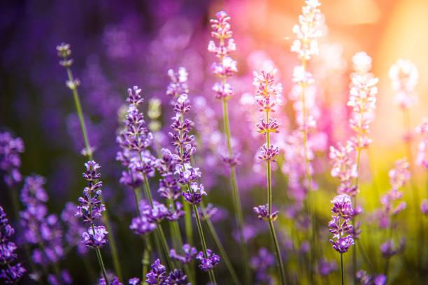 lavendel bloemen detail en wazig achtergrond - lavendel stockfoto's en -beelden