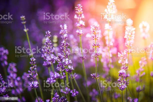 Photo of lavender flowers detail and blurred background