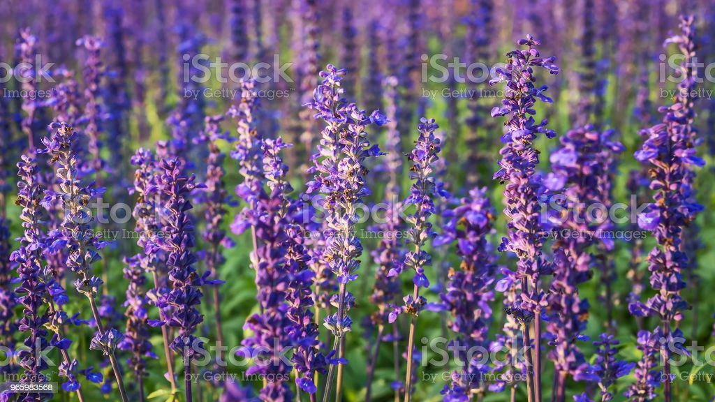 Lavender Flowers field. - Royalty-free Agricultural Field Stock Photo