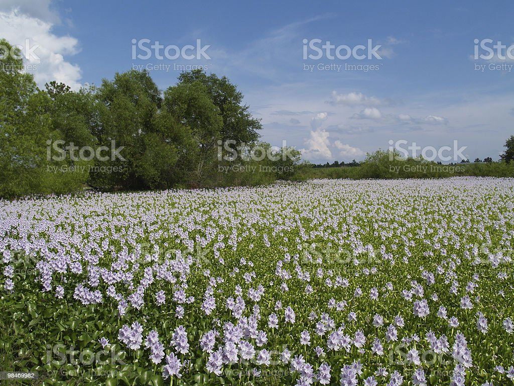 Lavender Flowers floating on  a Country Pond royalty-free stock photo