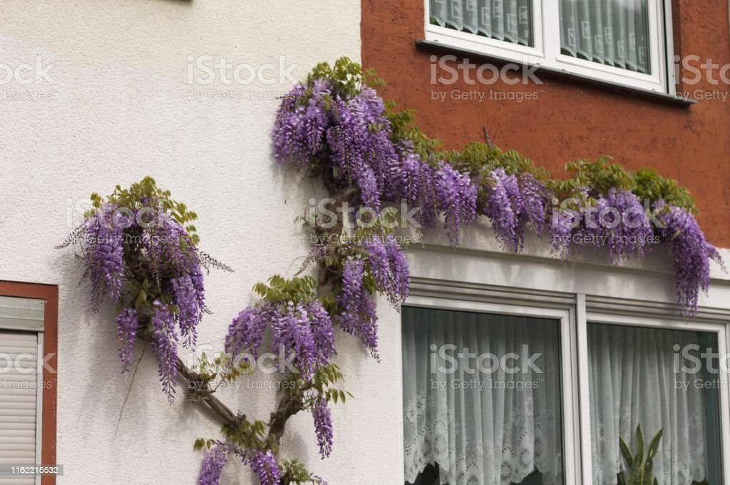 Lavender flowers hanging on a facade