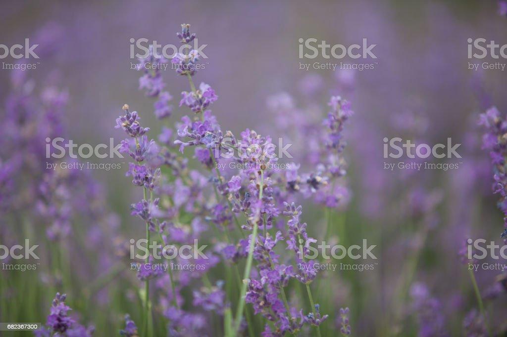 Lavendel bloemen in een veld in de natuur royalty free stockfoto