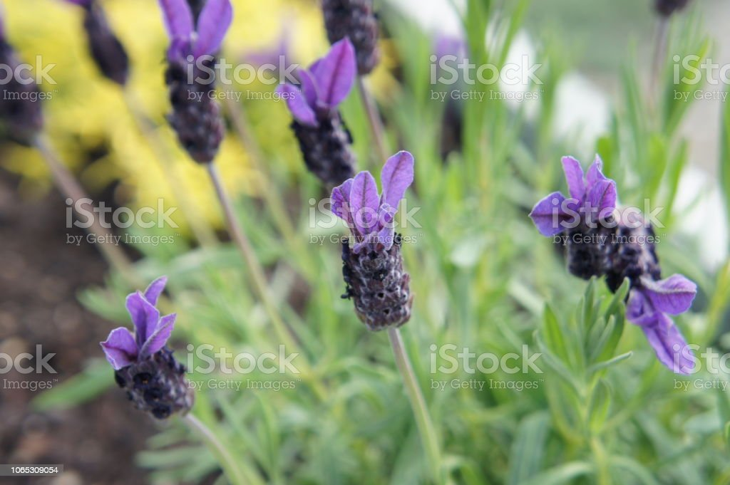 Lavender flowers in bloom in summer stock photo