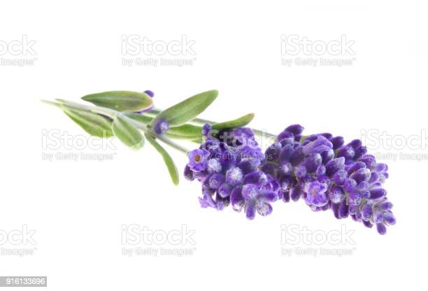 Lavender flowers in closeup picture id916133696?b=1&k=6&m=916133696&s=612x612&h=dibsnhokfoh0bl6ksur1evdms4lu2b2wgvzvvl5efi0=