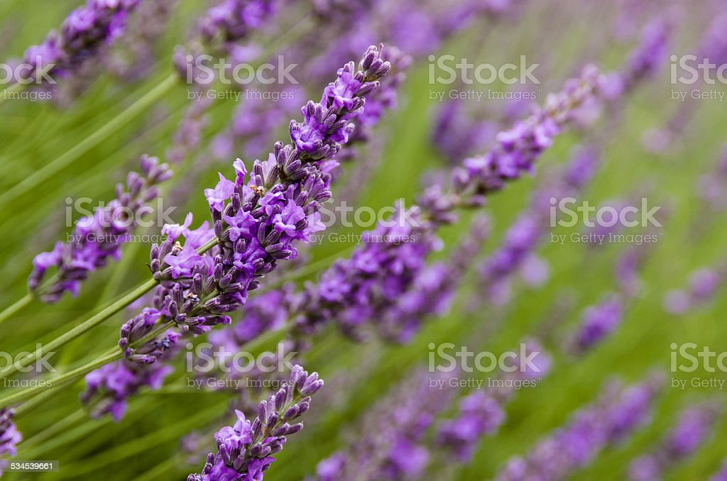 Lavender flowers in the field stock photo