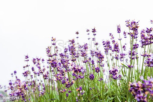 Lavender Flowers On White