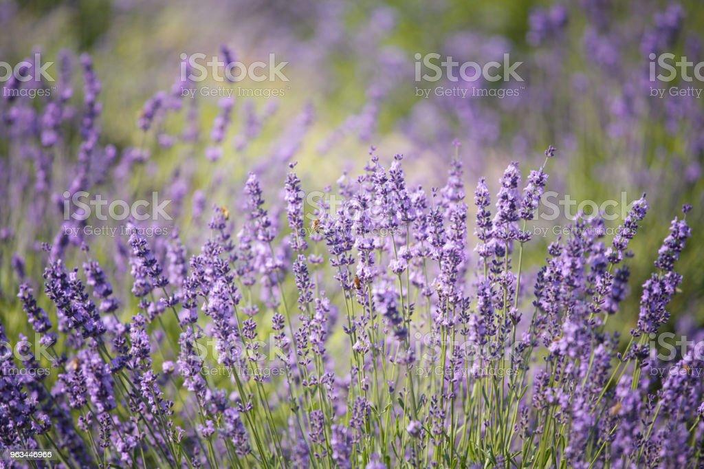 Lawendowe kwiaty w polu - Zbiór zdjęć royalty-free (Bez ludzi)