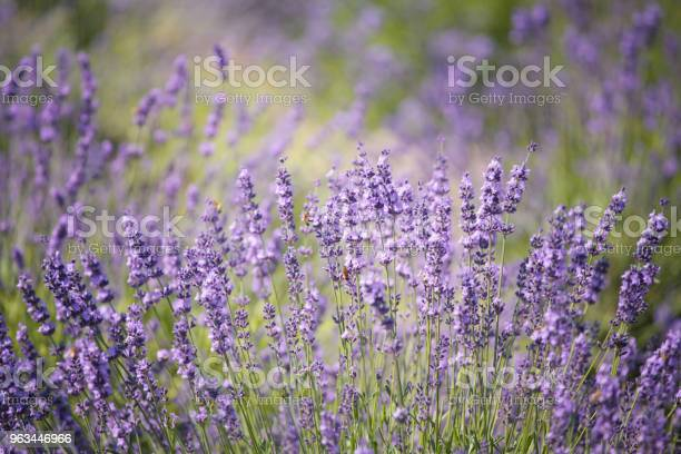 Lawendowe Kwiaty W Polu - zdjęcia stockowe i więcej obrazów Bez ludzi