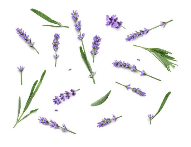 lavender flowers isolated on a white background - colore lavanda foto e immagini stock