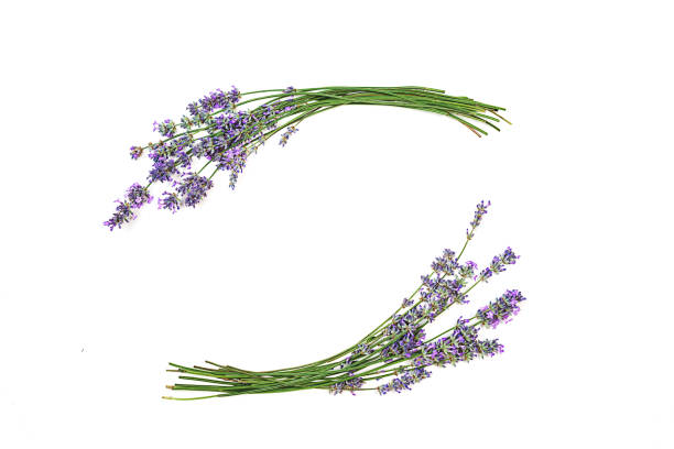 Lavender flowers isolated on white background picture id1157136273?b=1&k=6&m=1157136273&s=612x612&w=0&h=pc3alddwotnkgmaya3rrdhmnzmsa1rrv8hfnnkb229c=