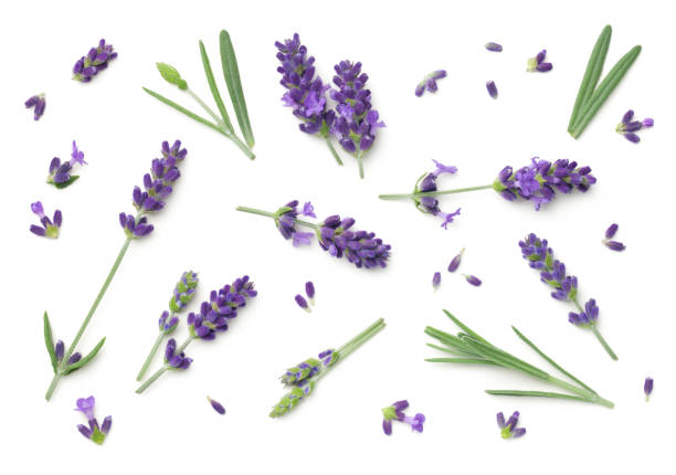 Lavender Flowers Isolated On White Background Lavender flowers isolated on white background. Top view, flat lay flower part stock pictures, royalty-free photos & images