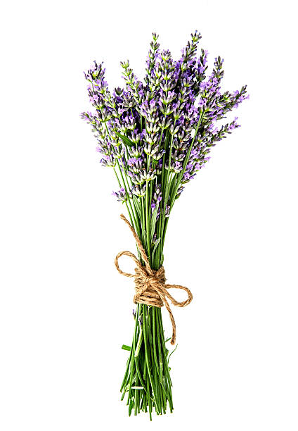 lavender flowers isolated on white background bouquet of lavender flowers isolated on white background bundle stock pictures, royalty-free photos & images
