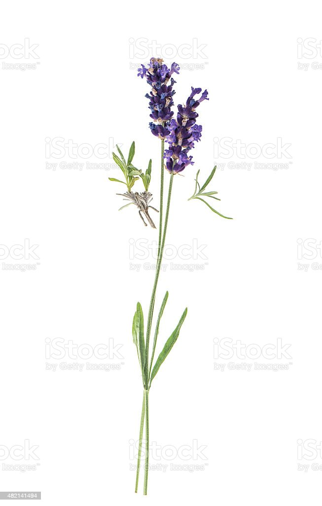 Lavender flowers isolated on white background stock photo