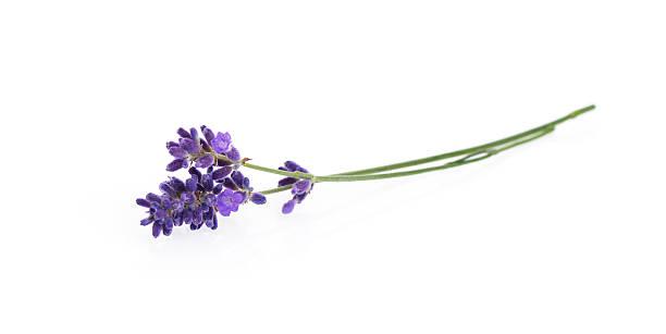 lavender flowers isolated on white - lavendel stockfoto's en -beelden