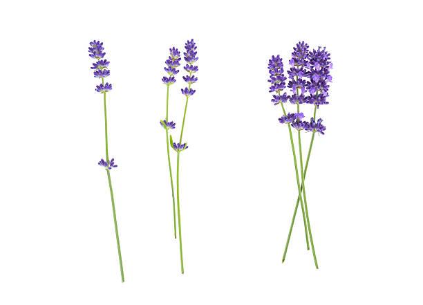 Lavender flowers isolated on white picture id607767432?b=1&k=6&m=607767432&s=612x612&w=0&h=z7 bzupa87juvrdurj1fa2l1xrbq8eqmjiqsxq2ps8c=
