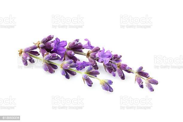 Lavender flowers isolated picture id613553028?b=1&k=6&m=613553028&s=612x612&h=kwxtyw9l8yelxxxv9cvpmotpaxl9mjziru5ahvsus9w=