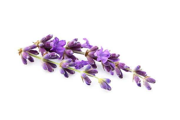 Lavender flowers isolated picture id613553028?b=1&k=6&m=613553028&s=612x612&w=0&h=eeyf1uoilmzklopjy7eupz9t5hnq4dzg4djtul2fmr4=