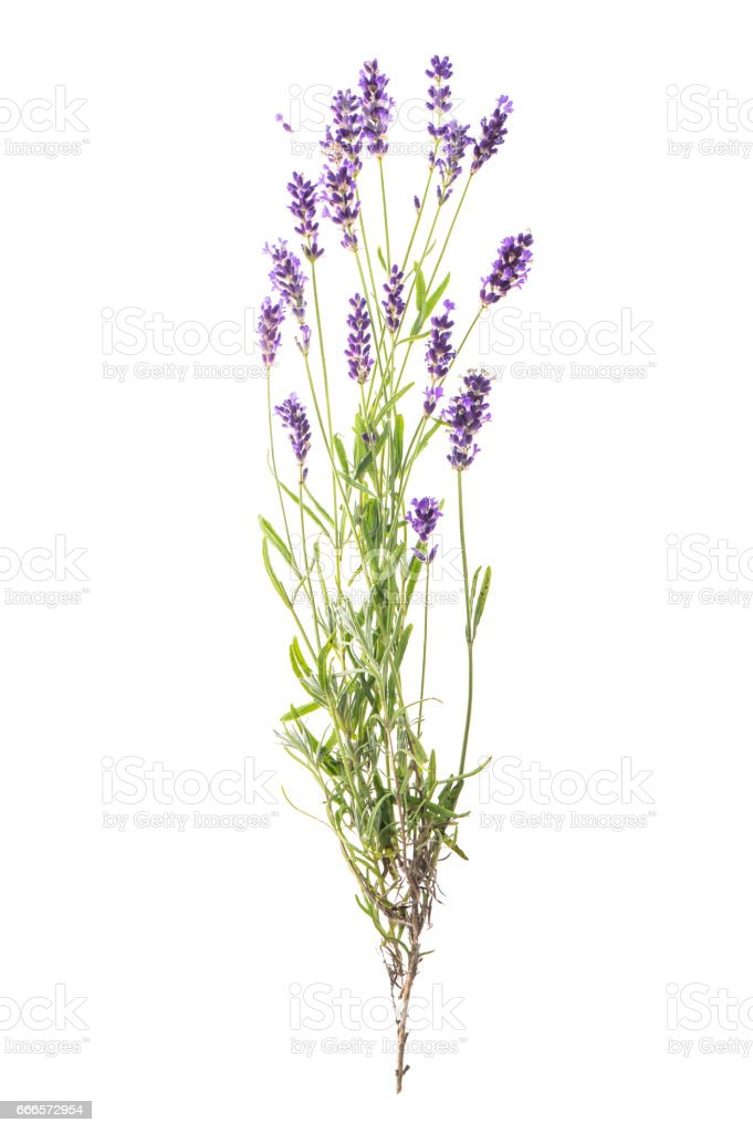 Lavender flowers isolated white background stock photo