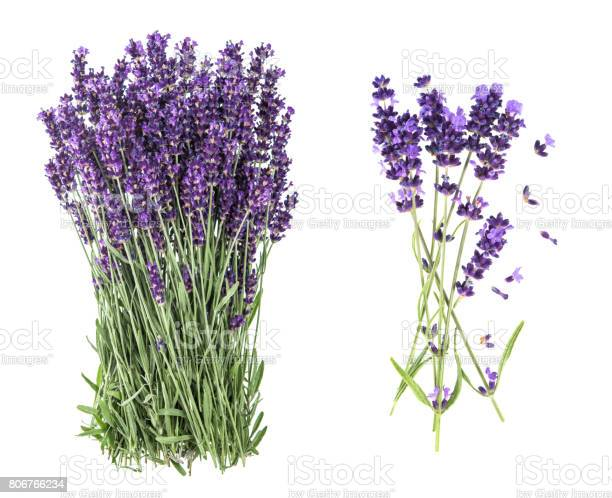 Lavender flowers isolated white background picture id806766234?b=1&k=6&m=806766234&s=612x612&h= na4pxwq9m4lrxowqiqdj4xpb85gvxq4ublmmwcisvw=
