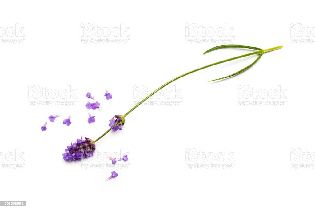Lavender flowers on white background stock photo