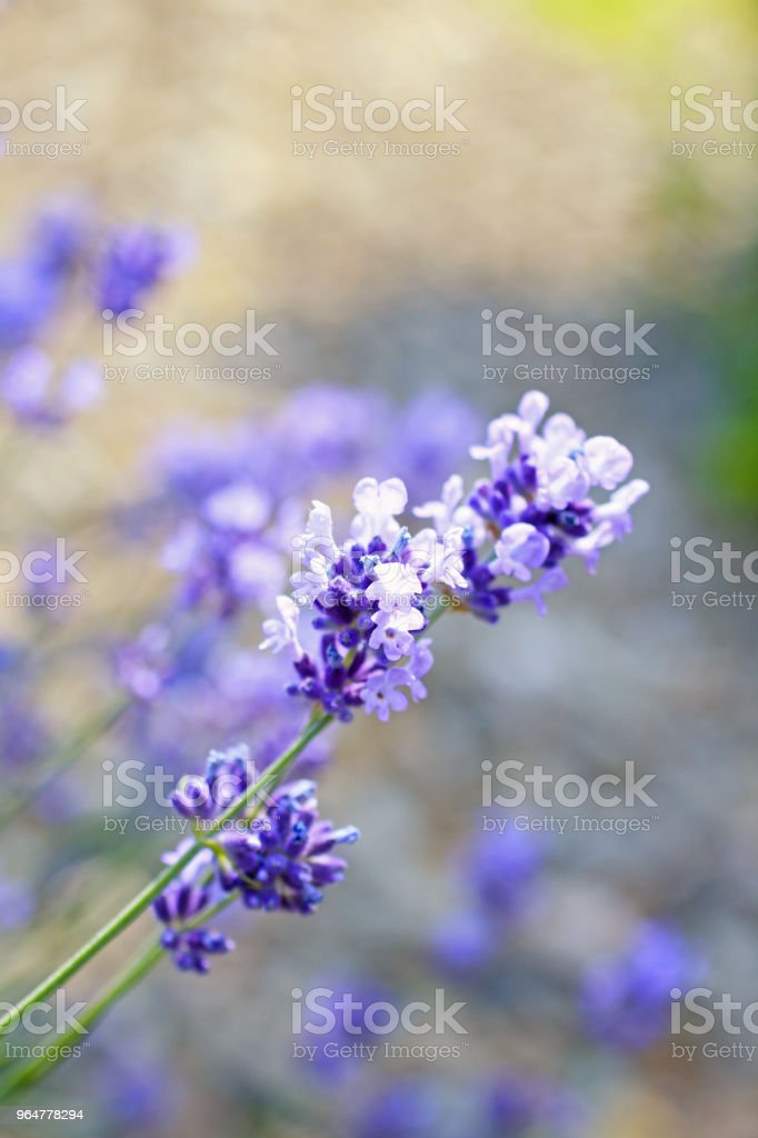 Lavender flowers outdoor royalty-free stock photo