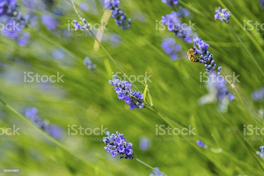 Fleurs de lavande - Photo