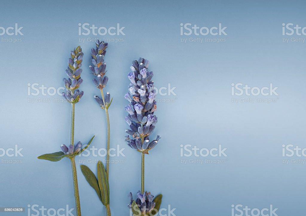 Flores de lavanda  foto de stock libre de derechos