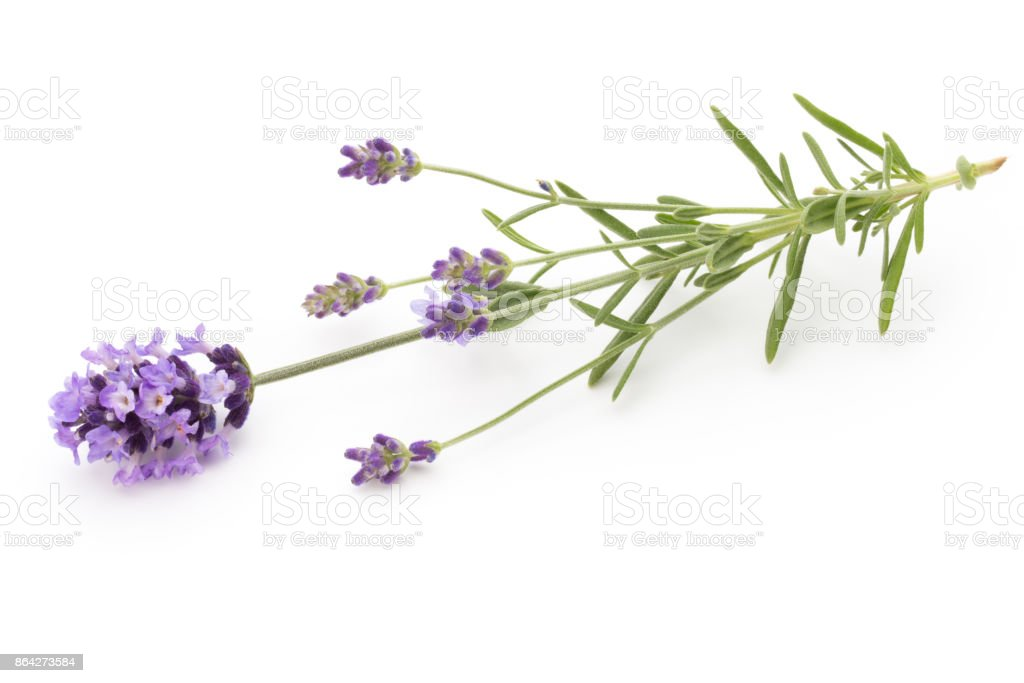 Lavender flowers. royalty-free stock photo