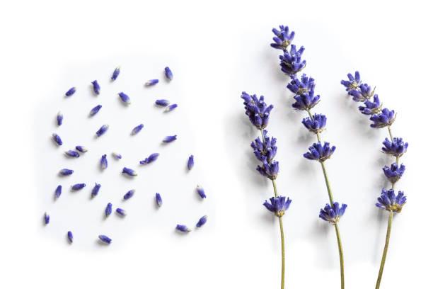 lavendel bloemen - lavendel stockfoto's en -beelden