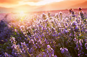 Lavender flowers with basket on sunset