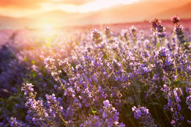 lavender flowers - colore lavanda foto e immagini stock
